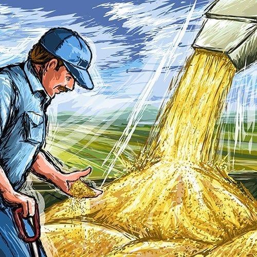 man harvesting grains